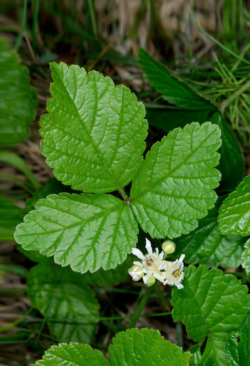 STONE BRAMBLE Rubus saxatilis (Rosaceae) Height to 40cm<br /> Creeping perennial with slender stems that either bear weak prickles, or none at all. Favours rocky ground. FLOWERS are 5-10mm across with 5 narrow, white petals (Jun-Aug). FRUITS are shiny and red with 2-6 segments. LEAVES are trifoliate with toothed leaflets that are downy below. STATUS-Locally common, but mainly in W and N.