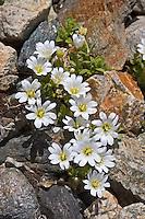 Einblütiges Hornkraut, Einblüten-Hornkraut, Silikat-Hornkraut, Cerastium uniflorum, glacier mouse ear, Le Céraiste à fleurs solitaires, Céraiste à une fleur, Céraiste des glaciers