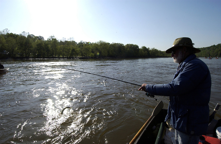 Mike Alper volunteers for the Congressional Sportsmen's Foundation during the annual shad fishing event on the Potomac River at Fletcher's Boat House in Washington, D.C. Here Alper pulls in a nice hickory shad.