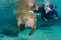 Florida Manatee, Trichechus manatus latirostris, A subspecies of the West Indian Manatee. Curious snorkelers and manatees interact in the warm waters of Three Sisters Springs. Crystal River, Florida. no MR