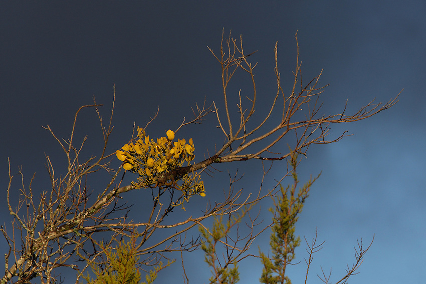 During the winter months, the evergreen mistletoe plants are very visible in the crowns of deciduous trees (as seen here). Species of Phoradendron (which means tree thief in Greek) are the leafy mistletoes found in Texas.