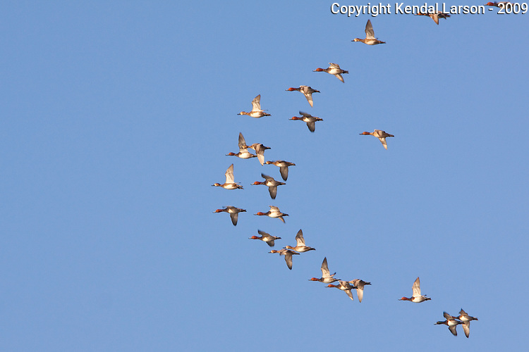 A flock of redhead ducks with single scaup in flight.