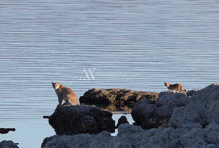 A juvenile male puma and its younger sibling stand near the shores of a lake in southern Chile.  The young male returned to spend time with his mother as she was rearing three new cubs.