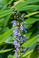 Salvia nemerosa Crystal Blue, blue flowered perennial in bloom