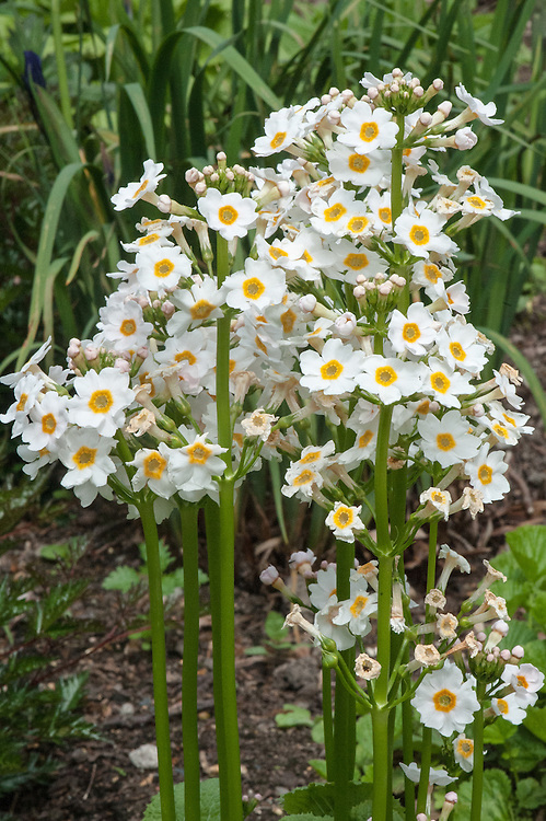 Primula japonica 'Postford White', late May. A Japanese candelabra primrose with white flowers that have golden eyes.