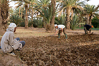 Merzouga, Morocco.  Farmers Hoeing the Soil in their Plots, in Preparation for Planting.  Crops can be planted underneath date palms.