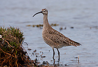 Whimbrel (Numenius phaeopus) Adult standing alert at waters edge during spring migration along the coast of Washington.<br />