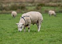 Ram with raddle<br /> , Bleasedale, Preston, Lancashire.