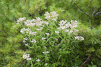 Eupatorium perfoliatum, Common Boneset, native American wildflower in bloom under Pinus strobus White pine tree, used in herbal medicine, homeopathy