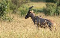A Topi, Damaliscus lunatus jimela, stands in tall grass in Maasai Mara National Reserve, Kenya