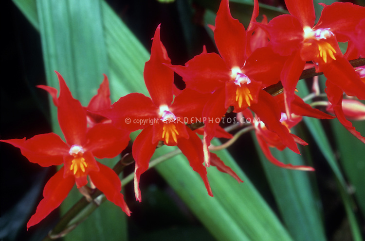 Oncidium hybride ?... Oncostele-Red-Riding-Hood-Odontioda-40882
