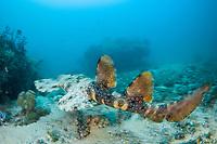 A Tassled Wobbegong, Eucrossorhinus dasypogon, swims above the reef in Raja Ampat, Indonesia, Pacific Ocean
