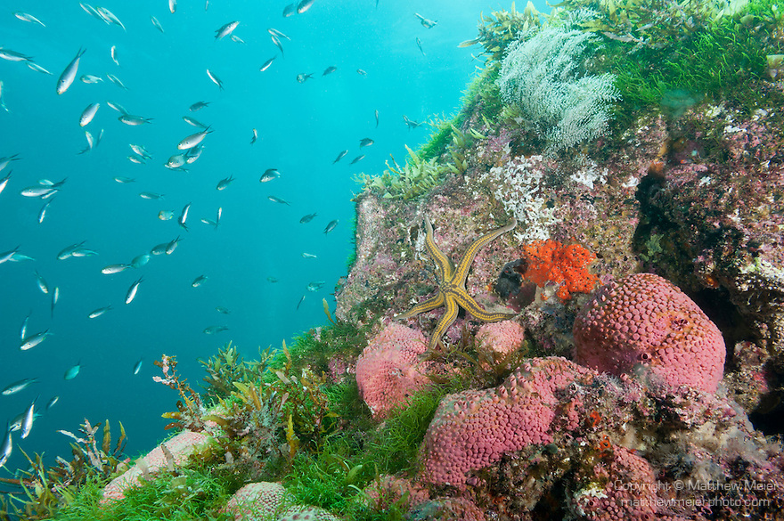 Sea of Cortez, Baja California, Mexico; a Pyramid Sea Star (Pharia Pyramidata) with Scissortail Chromis (Chromi atrilobata) fish swimming overhead, amongst pink barrel sponges on a rocky reef