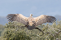 Gyps fulvus<br />