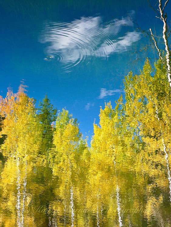 Autumn aspen reflecting on Walden Pond