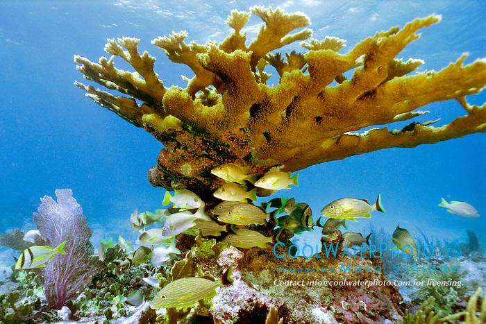 reef fish, sheltering under elkhorn coral, .Acropora paimata, Pickles Reef, .Islamorada, Florida Keys National .Marine Sanctuary, Florida (Atlantic).