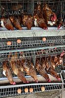 NIGERIA, Oyo State, Ibadan, village Ilora, egg layer hen keeping in cages / Eierproduktion, Legehennenhaltung in Kaefigen