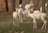 Herd of beautiful gracious shy white deers in Sakkarbaug Zoological Garden Junagadh