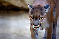 COUGAR PROWLING AT EXOTICE FELINE RESUE CENTER IN ROSAMOND, CALIFORNIA