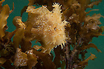 A sargassum frogfish or angerfish (Histrio histrio) in its floating sargassum home.
