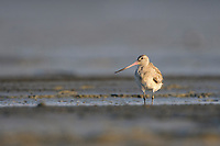 Bar-tailed Godwit (Limosa lapponica) in basic plumage on coastal mudflats during its long distance migration. Rakhine State, Myanmar. January.