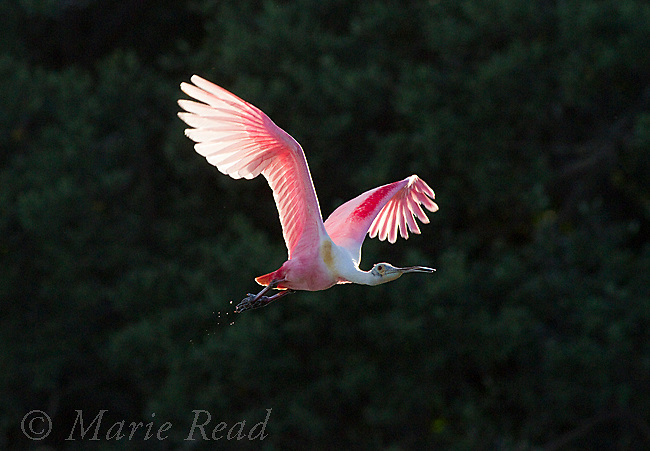 Roseate Spoonbill (Ajaia ajaja), adult in breeding plumage in flight, sunlight shining through wings against a dark background, Florida, USA