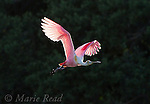 Roseate Spoonbill (Ajaia ajaja), adult in breeding plumage in flight, sunlight shining through wings against a dark background, Florida, USA