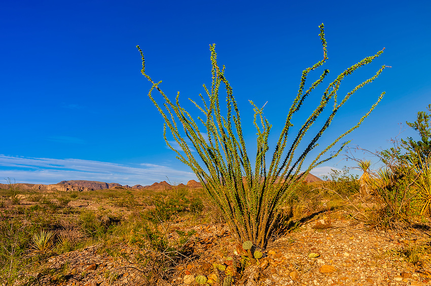 Ocotillos (desert plants), Chihuahuan Desert, Big Bend National Park, Texas USA.
