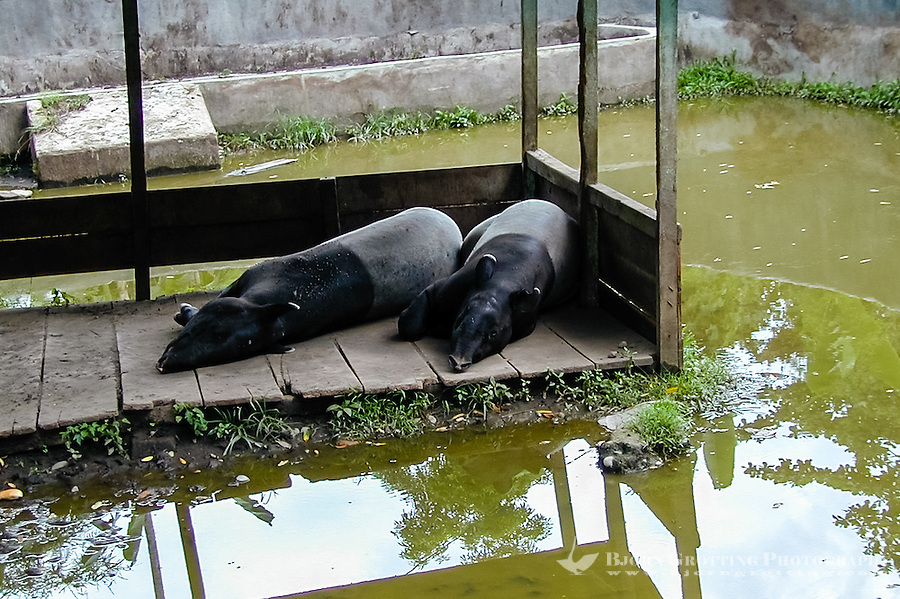 Indonesia, Sumatra. Medan. Asian tapir is another species on the brink of extinction. Medan Zoo.