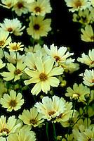 Coreopsis 'Creme Brulee' hybrid between C. grandiflora and ? Moonbeam