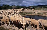 Europe/France/Midi-Pyrénées/12/Aveyron/Larzac/La Couvertoirade: Cité Templière du Larzac: Marc Montagnié berger amène son troupeau de brebis boire à une lavogne - fromage de Roquefort
