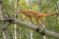 Adult Mountain Lion in tree, Puma concolor<br /> (Controlled Situation) Minnesota