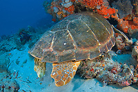 Sleeping Loggerhead Sea Turtle (Caretta caretta) in Juno Beach, Florida. The turtle sleeps with its head hidden in the reef.