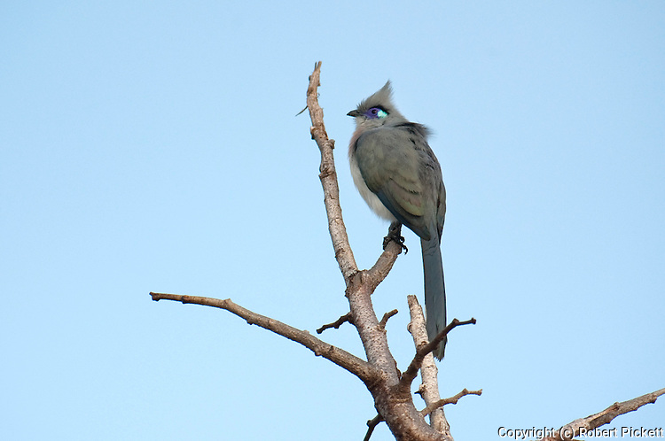 Crested Coua, Coua cristata, Ifaty, Madagascar, perched high on tree, endemic, Least Concern on the IUCN Red List