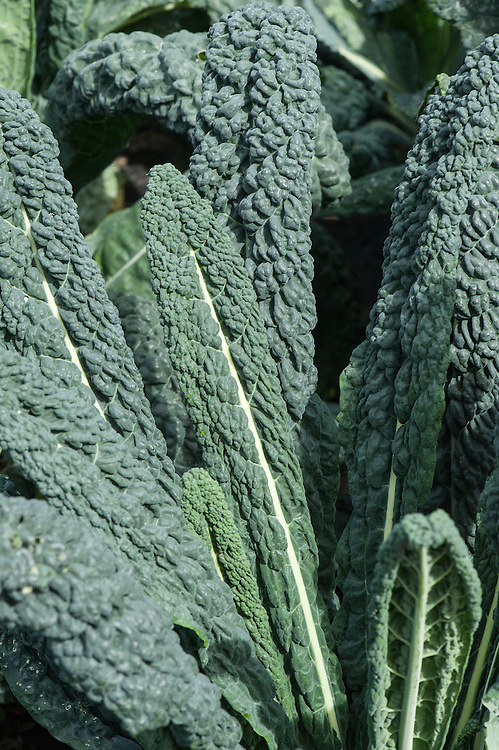 Cavolo Precoce di Toscana, black Tuscan kale, early September.