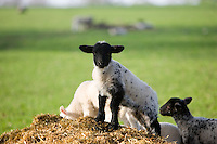 Lamb in Stanway, Gloucestershire, United Kingdom