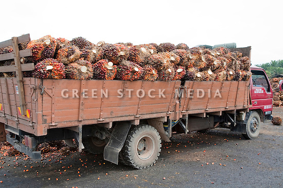 A side view of truck load of oil palm fresh fruit bunches (FFBs) being delivered to the mill. The Sindora Palm Oil Mill, owned by Kulim, is green certified by the Roundtable on Sustainable Palm Oil (RSPO) for its environmental, economic, and socially sustainable practices. Johor Bahru, Malaysia