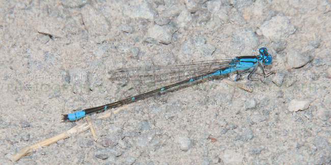 Slender Bluet (Enallagma traviatum) Damselfly - Male, Promised Land State Park, Greentown, Pike County, Pennsylvania