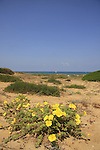 Evening primrose flowers at Hadera coast