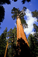 General Sherman sequoia tree in Giant Grove, Yosemite National Park, California, USA