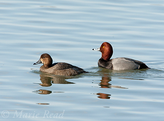 Redheads (Aythya americana), male and female swimming, New York, USA