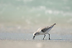 Captiva Island, Florida; a Sanderling (Calidris alba) bird, chasing waves and searching for food © Matthew Meier Photography, matthewmeierphoto.com All Rights Reserved
