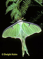 LE10-025x  Luna Moth male just emerged from cocoon, Actias luna