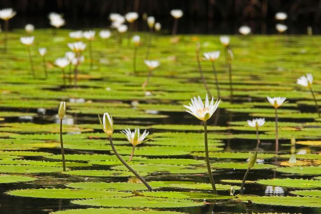 Water lilies on Rio Dulce near Livingston, Guatemala.