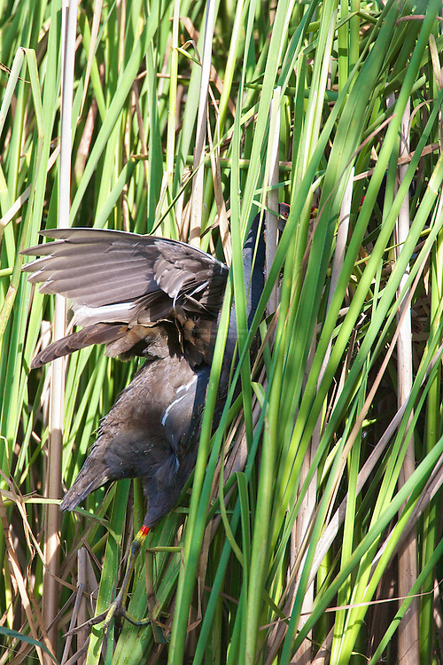 Common Moorhen (Gallinula chloropus), visiting partner on nest in reeds. Sometimes Moorhen build nests up and away from water. In this image the nest is above the water built suspended in the reeds. Here the Moorhen is brining food in to it's partner who is attending the nest. The Moorhen is one of only two British birds which breed co-operatively, with older young birds helping their parents raise subsequent offspring. Habitat, Marsh, reed bed, small lakes.