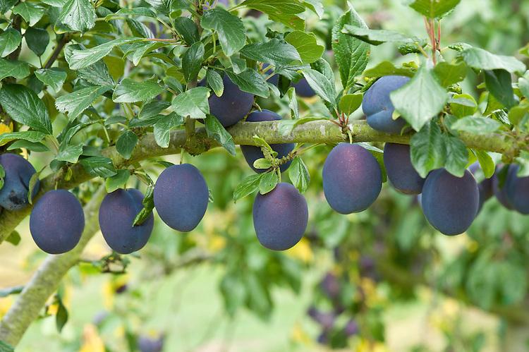 Plum 'Valor', mid August. A dual-purpose plum originally from Vineland, Canada,1968. Large, dark purple fruit with greenish-yellow flesh ripen late in the season.