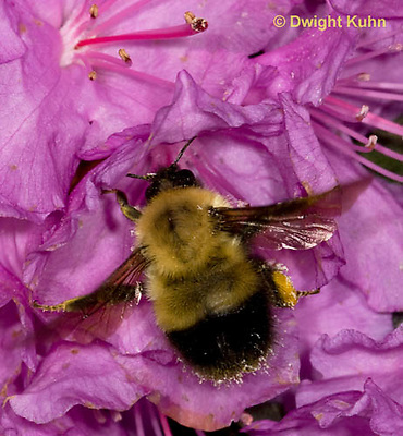 BU06-512z  Bumblebee Queen collecting pollen and nectar in early spring from PJM Rhodadendron flowers, Bombus spp.