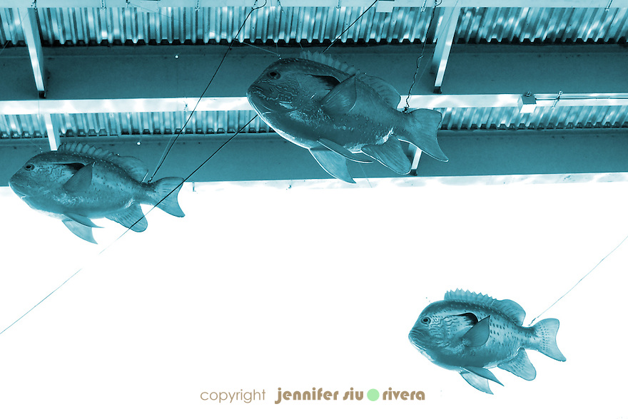 public art work at San Antonio Riverwalk Museum Reach - giant fishes hanging under bridge crosses over river.