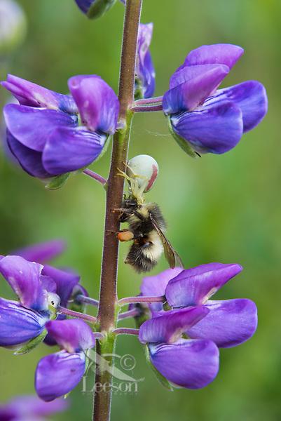 Flower Crab spider (Misumena spp.) with bumblebee on lupine wildflower.  Pacific Northwest.  Summer.