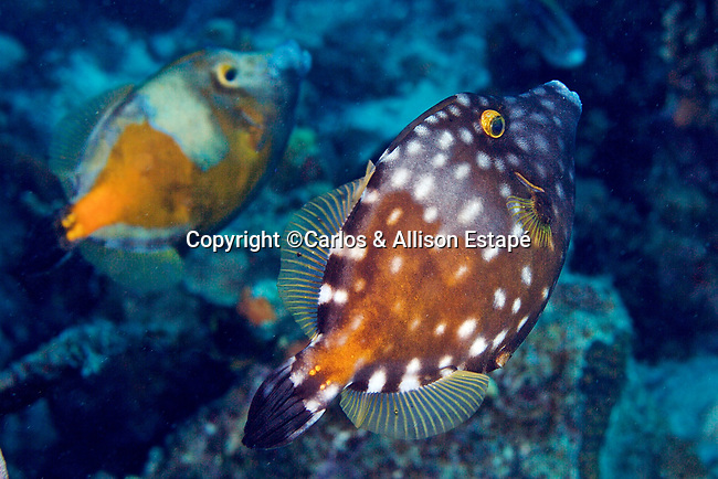 Cantherhines macrocerus, Whitespotted filefish, Bonaire